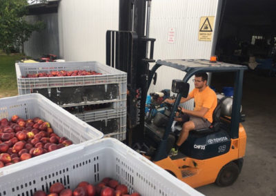 Forklift distributing bins of stone fruit to packing shed