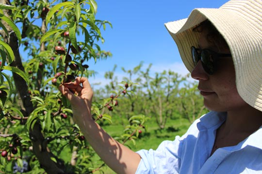 Mira with new plum fruit