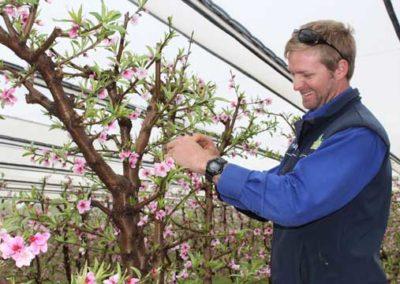 Tony working on stone fruit trees