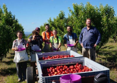 Team picking Honey May nectarines