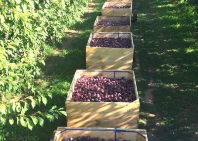 Kaso plums in 5 bins