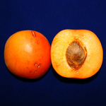 Perfectly edible blemished apricot