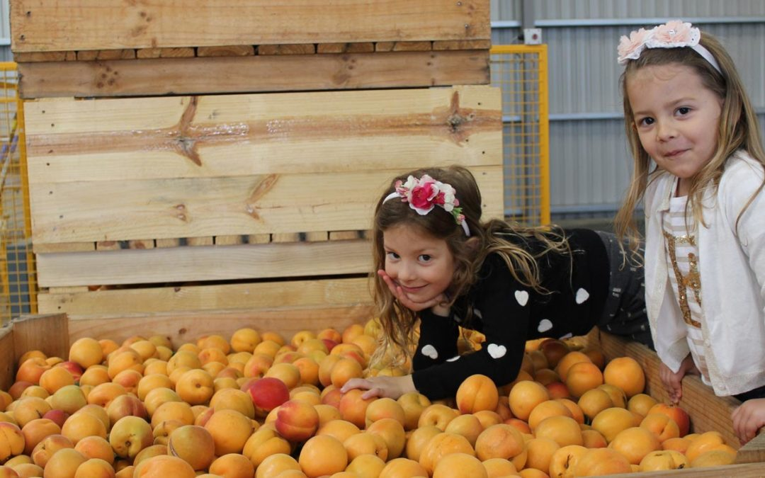 Apricot growers in Shepparton Goulburn Valley