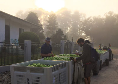Daniel Nicoletti and team harvest granny smith apples