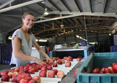Traprock Region Stone Fruit team member grading fruit