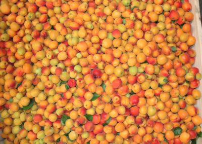 IM-SWEET top view apricots in bin