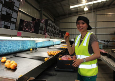 Team member sorting apricots